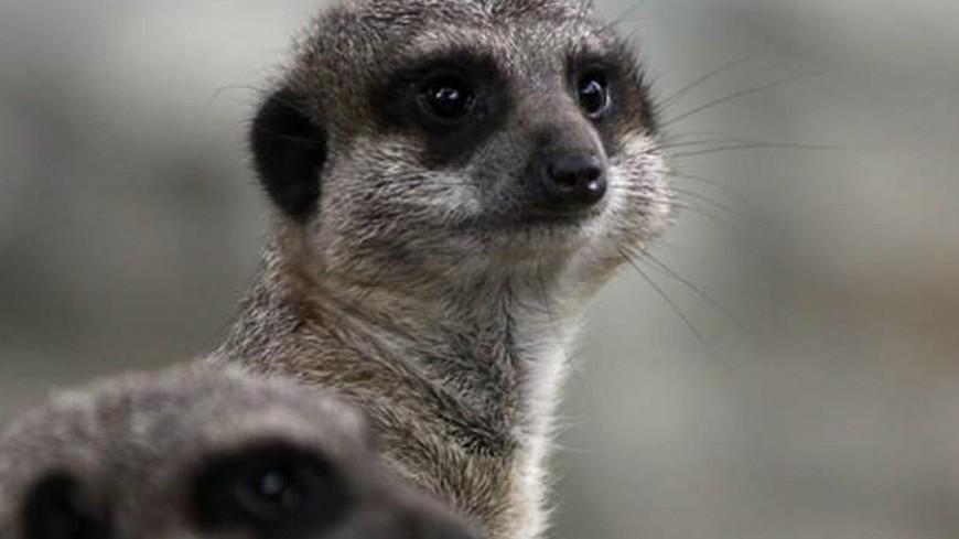 """""""© Фото: Александр Попов, «МИР 24»"""":http://mir24.tv/, животные, зоопарк, сурикат, сурикаты"""