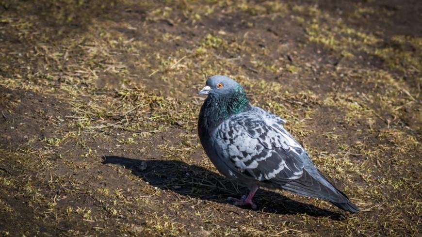 Птица. Голубь