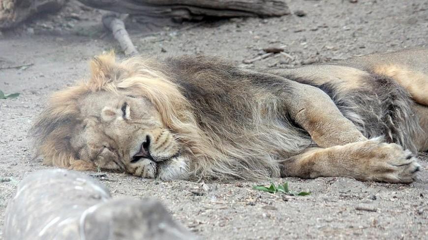 """© Александр Попов, """"«МИР 24»"""":http://mir24.tv/, зоопарк, лев, животные"""