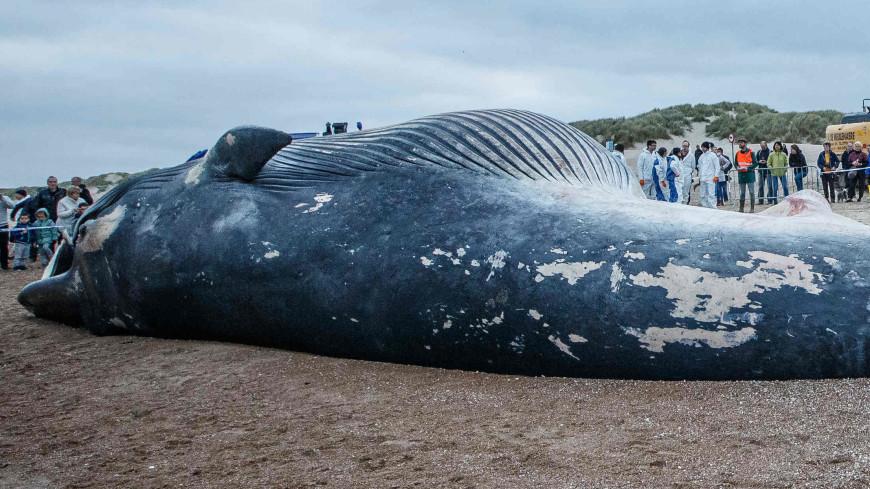 На берег Белого моря выбросило высоколобого бутылконоса
