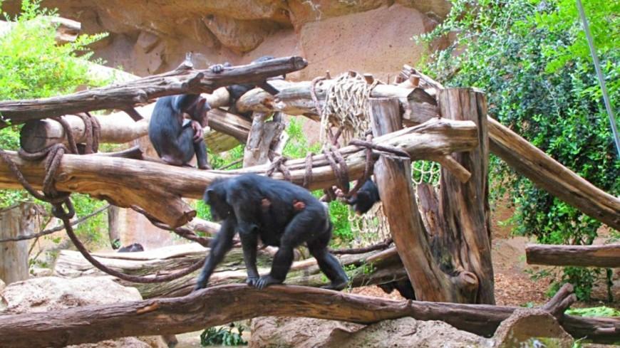 """Фото: Екатерина Дегтерева (МТРК «Мир») """"«Мир 24»"""":http://mir24.tv/, шимпанзе, зоопарк, животные"""