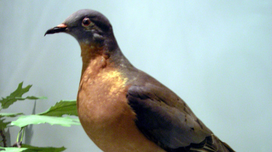 Чудо генной инженерии: в Австралии возрождают странствующего голубя