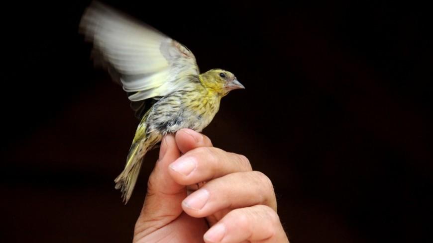 Орнитологическая станция «Фрингилла».,Орнитолог, птица, кольцевание, ловушка, ,Орнитолог, птица, кольцевание, ловушка,