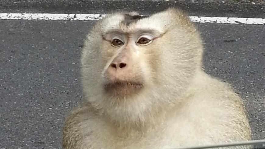 "Фото: ""«Мир 24»"":http://mir24.tv/, животные, тай, таиланд, обезьяна"