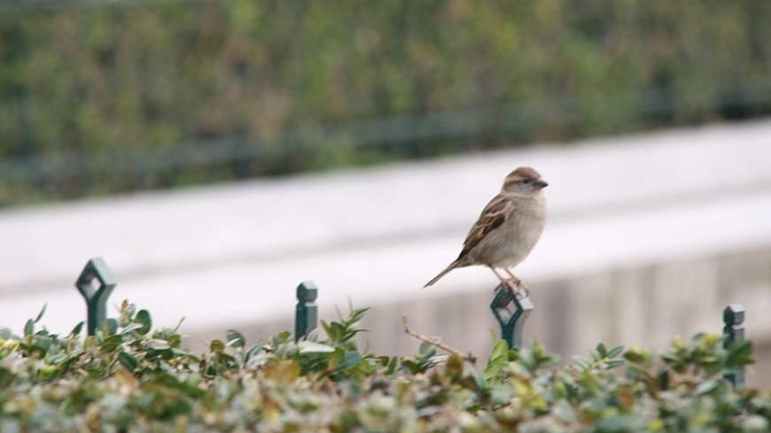 """Фото: Елизавета Шагалова, """"«МИР 24»"""":http://mir24.tv/, весна, птица, воробей"""