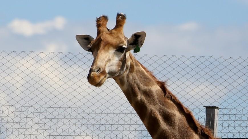 зоопарк, зоопитомник, животные, жираф,