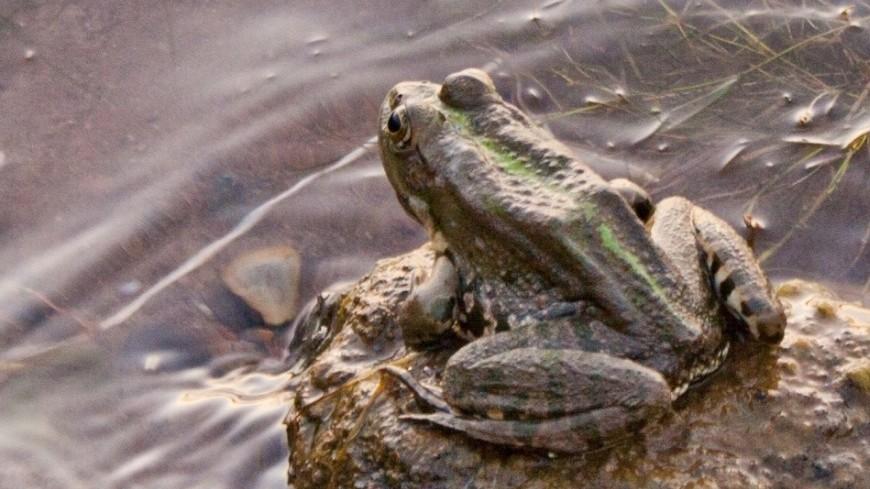 Россия будет выращивать съедобных лягушек и поставлять их в Китай