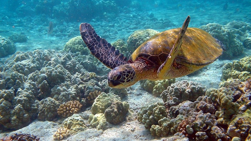 Тропическая черепаха приплыла на Курилы