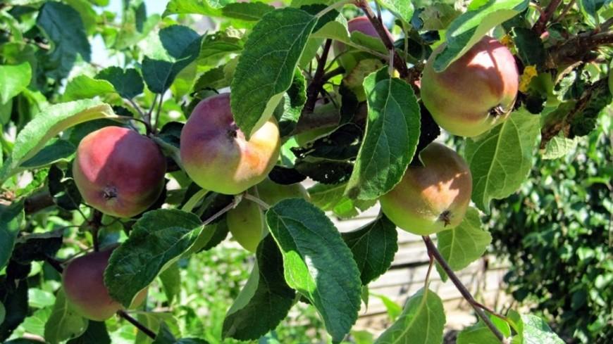 """Фото: Мария Попова, """"«Мир 24»"""":http://mir24.tv/, урожай, яблоки"""