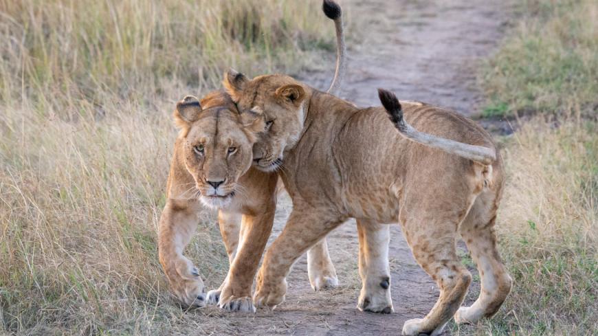 Львица попыталась соблазнить самца и стала звездой Сети