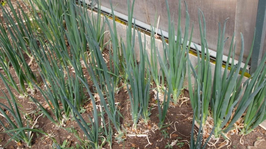 Зеленый лук,зеленый лук, огород, зелень, дача, ,зеленый лук, огород, зелень, дача,