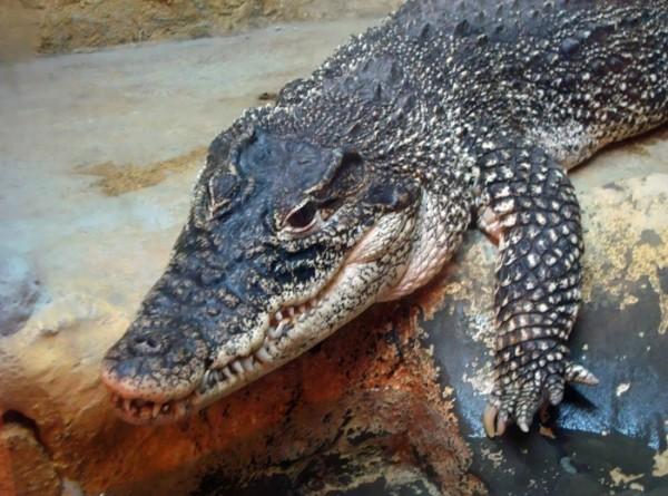 В Индонезии крокодил растерзал водолаза
