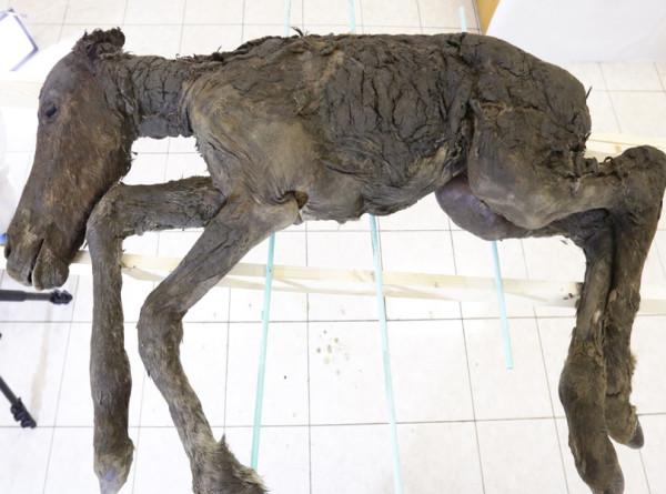 Российские ученые клонируют жеребенка из вечной мерзлоты