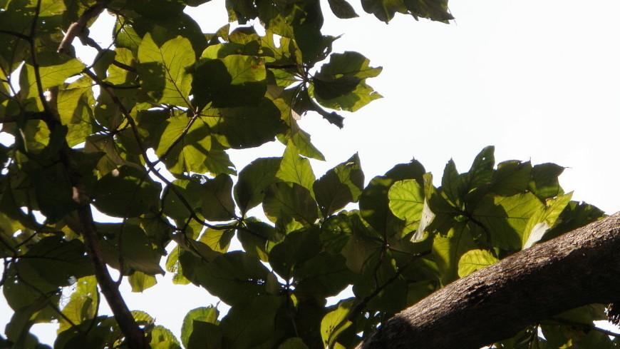 Самое высокое в мире дерево растет на Борнео