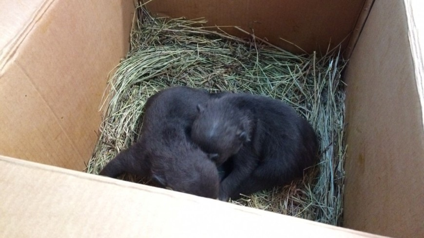 В подмосковный центр  передержки диких Животных Департамента природопользования Москвы  принесли 2 медвежат. Их передадут в центр «чистый лес» в твери.