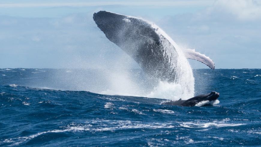 Мог ходить по суше: в Перу нашли останки древнего четвероногого кита