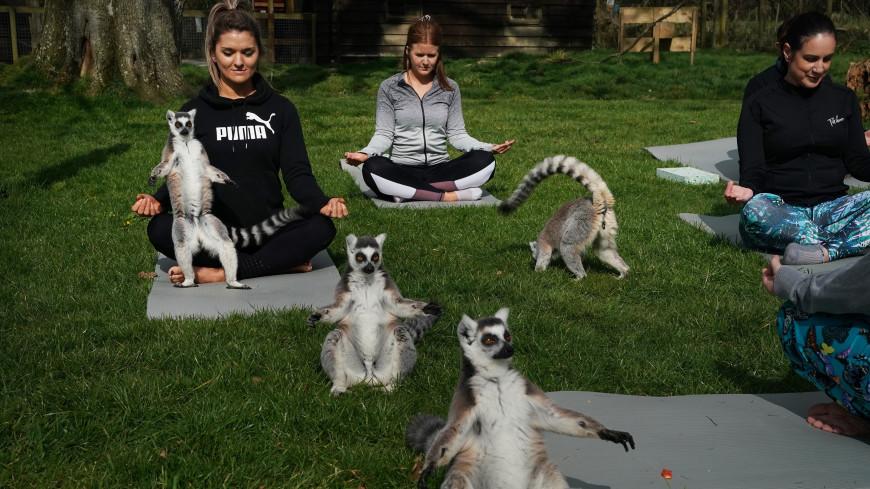 Английский отель предложил сеансы йоги вместе с лемурами