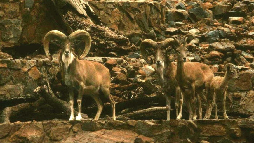 В горах Казахстана квадрокоптер снял на видео редкий вид животных