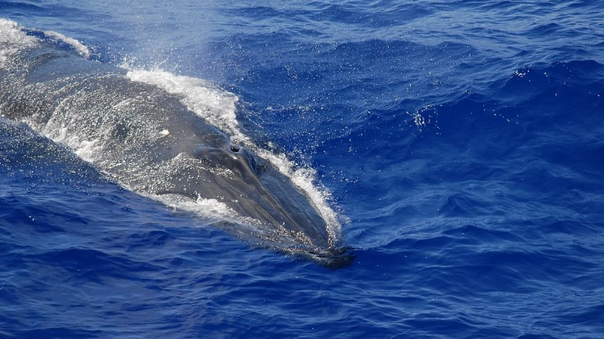 Девятиметровый кит шесть недель пробыл в рыболовных сетях и был спасен