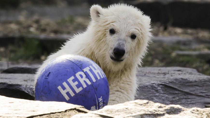 Спортдайджест: футболисты «Герты» взяли шефство над белым медвежонком