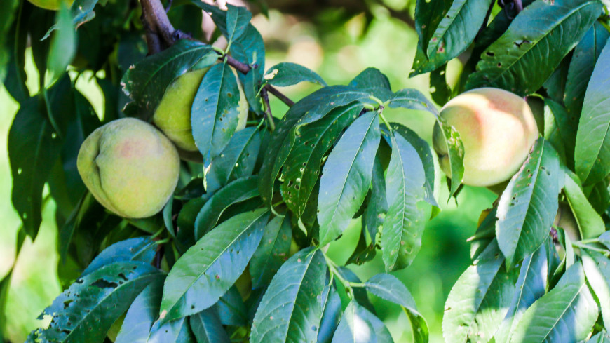 Время собирать: в садах Чуйской области Кыргызстана поспели персики