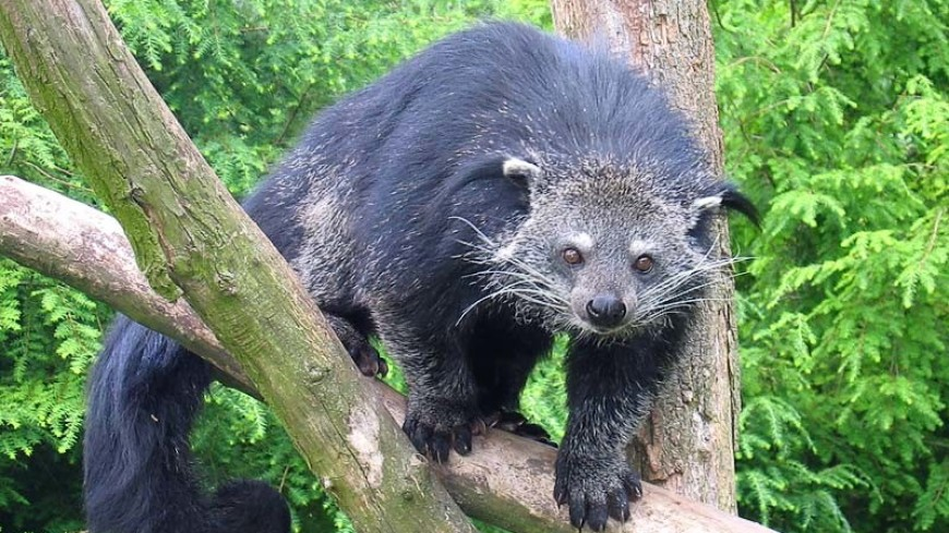 В Московском зоопарке поселился «кошачий медведь» – бинтуронг