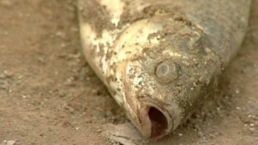 """""""Фото: МТРК «Мир»"""":http://mir24.tv/ (скриншот), дохлая рыба, рыба"""