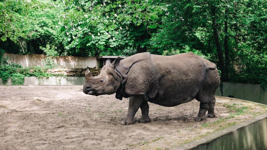 Ученые приблизились к возрождению северного белого носорога
