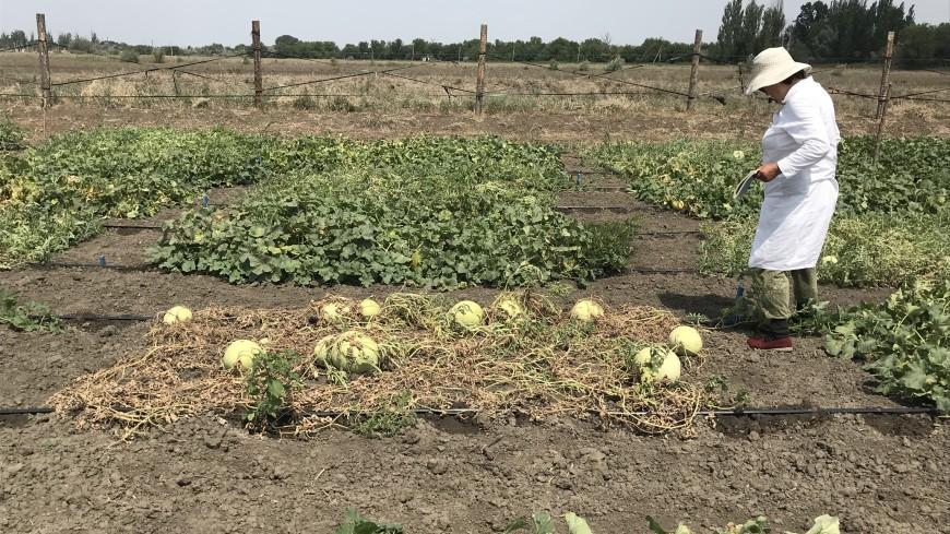 «Спасают от рака»: как выращивают и селекционируют знаменитые астраханские арбузы