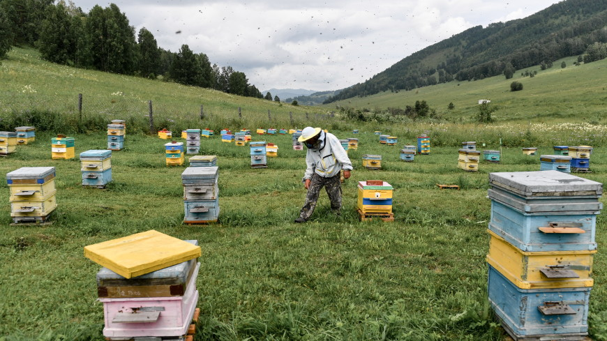 Спас без меда: пчеловоды России не смогли собрать урожай