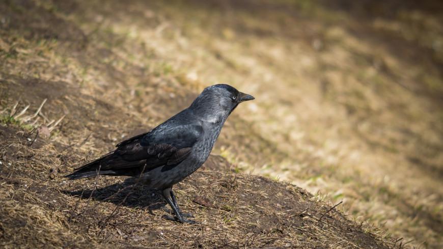 Птица. Ворона