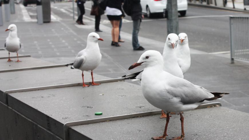 "австралия Фото: Елена Карташова, ""МТРК «Мир»"":http://mirtv.ru/, чайки, австралия, птицы, чайка"