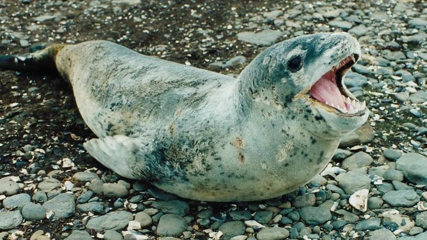 Морских леопардов застали за совместной трапезой