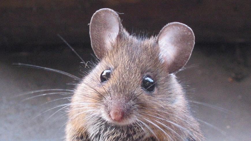 В организме мышей нашли новый болевой рецептор