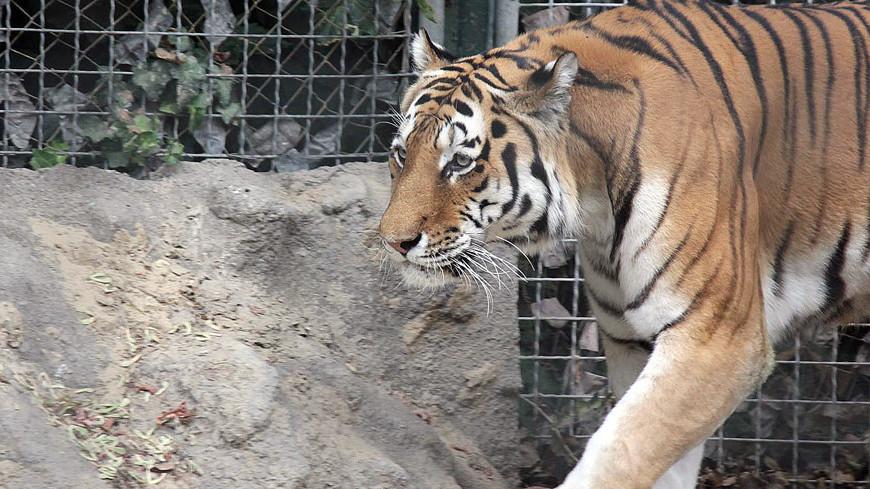 "Фото: Александр Попов, ""«МИР 24»"":http://mir24.tv/, зоопарк, тигр, тигры, животные"