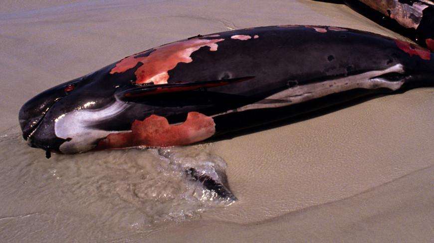 Туристы пытались сделать селфи на фоне умирающего дельфина на пляже