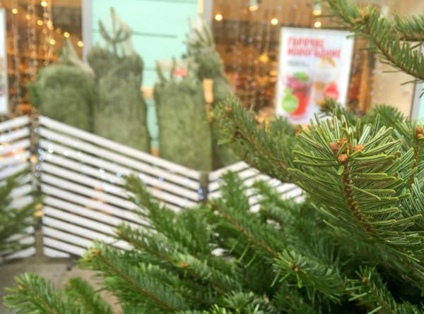 Как проверить качество живой елки? ИНФОГРАФИКА