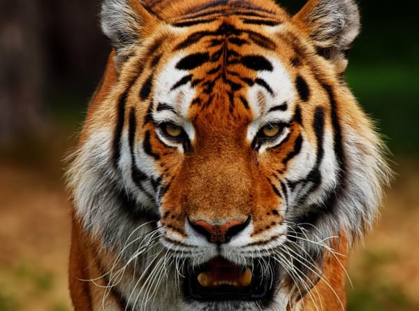 В Индии тигр погнался за автомобилем с туристами