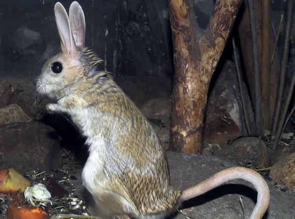 В Московском зоопарке тушканчики впали в спячку