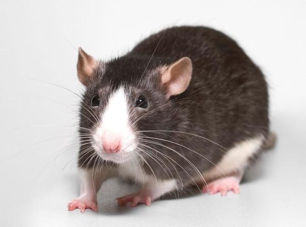 Крысы: 15 фактов о символе 2020 года