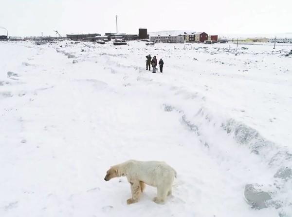 Когда соседи – белые медведи: чукотский поселок отбивается от голодных хищников