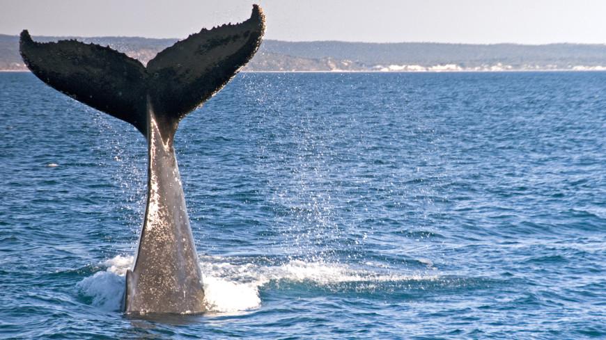 Тайны природы: как голубые киты стали крупнейшими животными на планете?