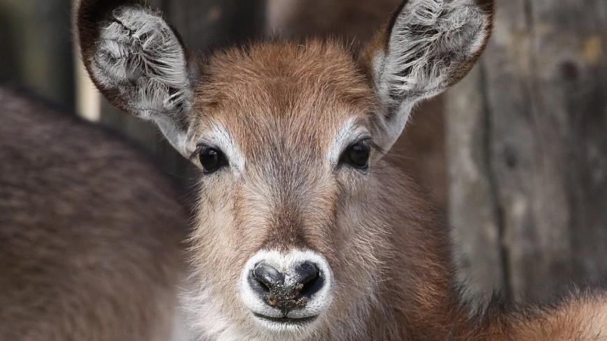В Московском зоопарке родился детеныш миниатюрной антилопы