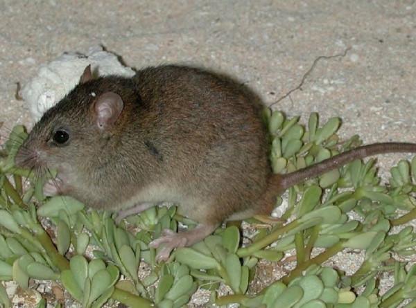 Первая жертва потепления: рифовую крысу официально признали вымершей