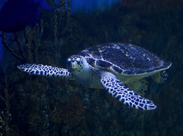 Вымершая более сотни лет назад черепаха оказалась живой