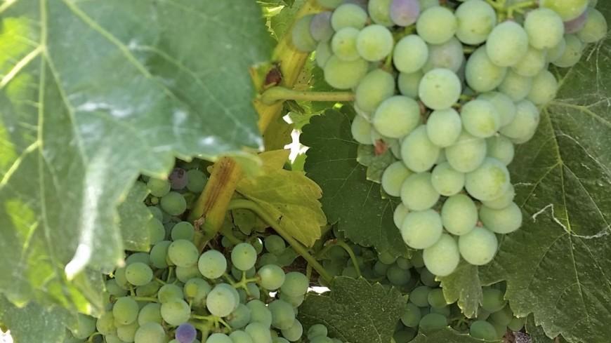 Агентство по развитию виноградарства и виноделия появится в Узбекистане
