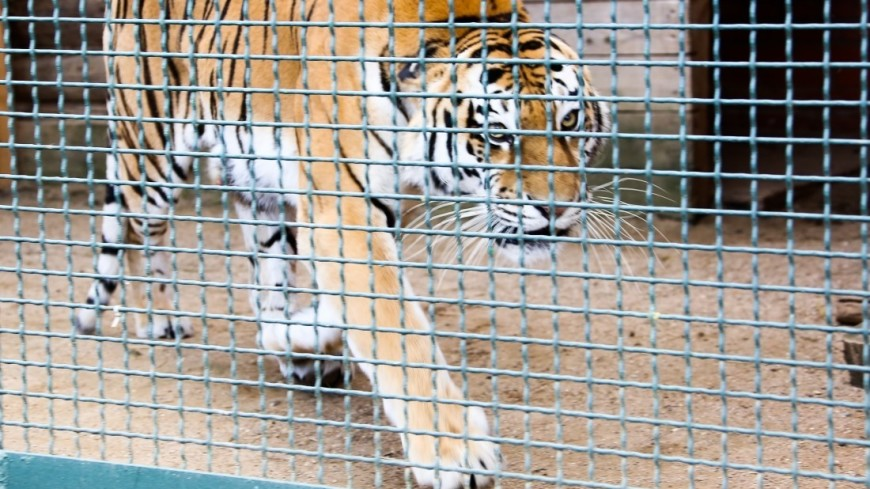 Техасских наркоманов в заброшенном доме встретил тигр