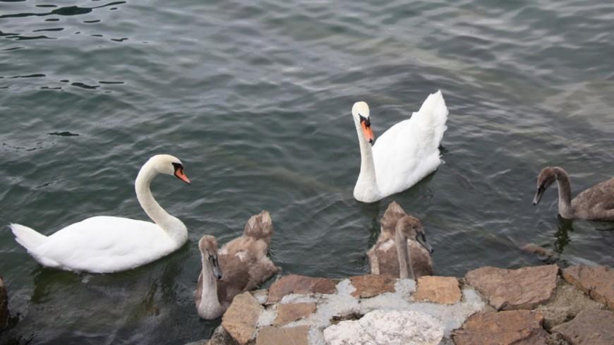 В Москве спасли лебедей, улетевших из вольера мини-зоопарка