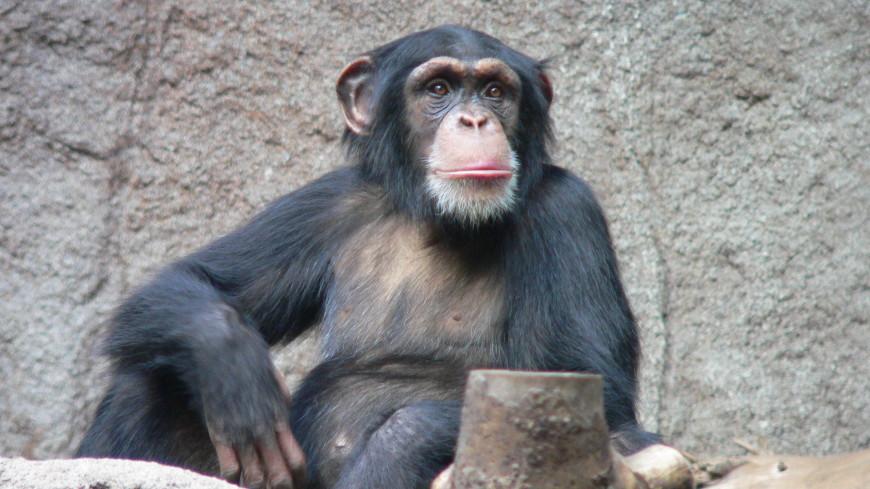 Сексуальрые связи в общении у обезьян