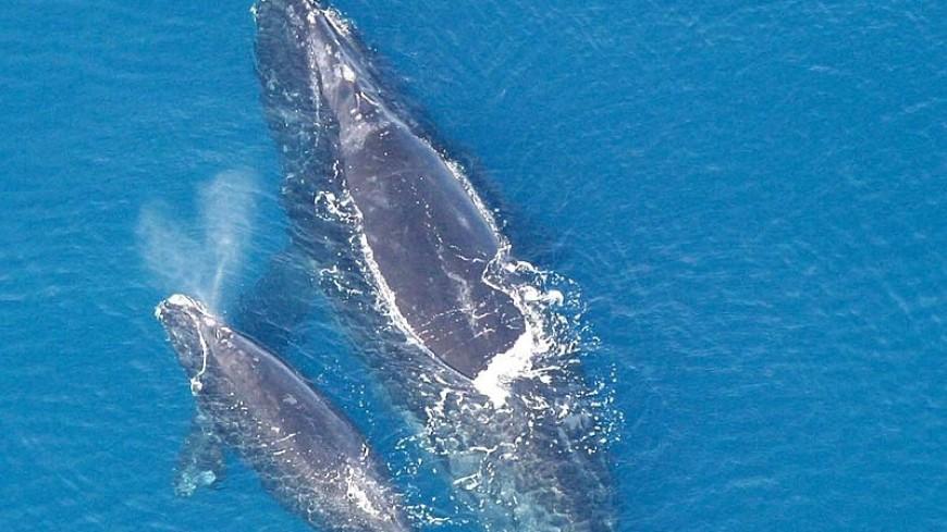 В Атлантическом океане найдены детеныши вымирающего вида китов